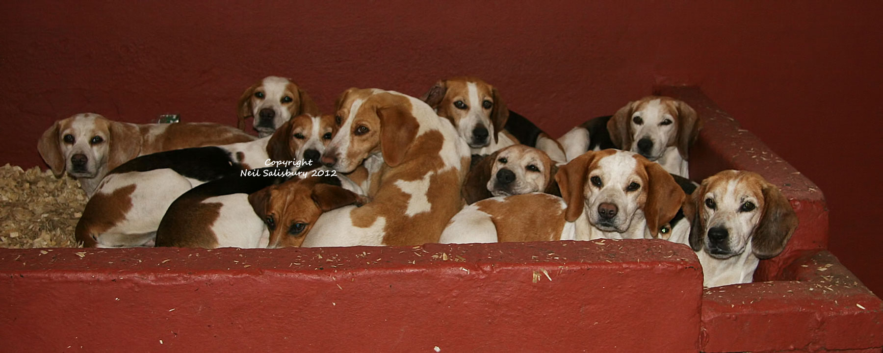 Beagle photography by Betty Fold Gallery of Hawkshead in the English Lake District