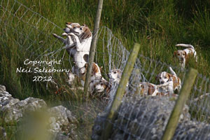 Beagles and beagling pictures by Neil Salisbury Betty Fold Gallery Hawkshead Hill Cumbria
