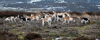 Beagles and Beagling Photography by Betty Fold Gallery