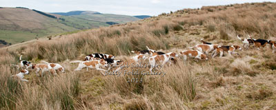 Beagle images by Hunting Photographer Neil Salisbury Betty Fold Gallery