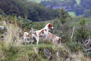 Beagle studies by Betty Fold Gallery