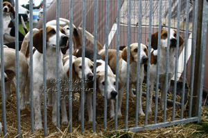 Black Combe Beagles by Neil Salisbury