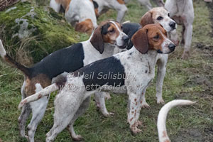 Beagles by Betty Fold Gallery