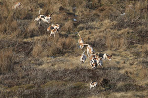 Beagles on the trail by Betty Fold Gallery