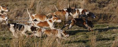 Running Beagles by Neil Salisbury Betty Fold Gallery