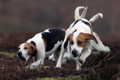 Beagles trailing by Betty Fold Gallery