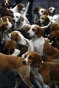 Brighton Storrington Surrey and North Sussex Beagles by Betty Fold Gallery