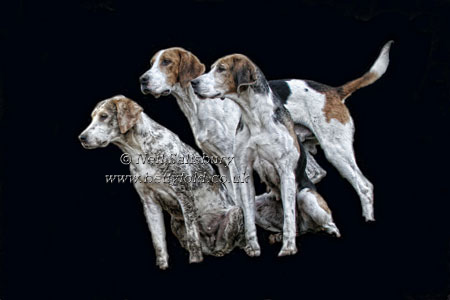 Foxhound Studies by Betty Fold Gallery