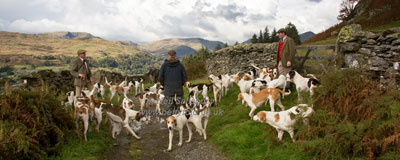 Foxhounds in the Lake District