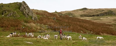 Foxhounds in Lake District by Betty Fold Gallery