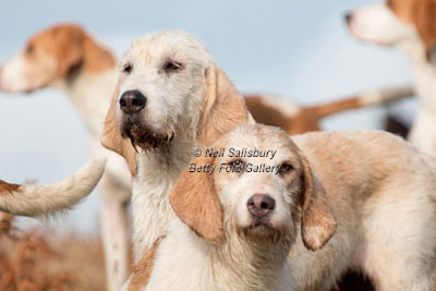 Welsh Foxhound Photography by Betty Fold Gallery