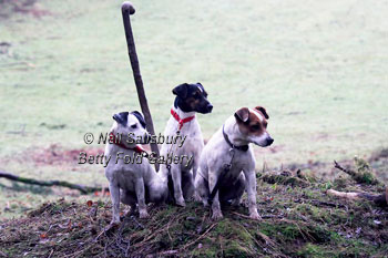 Jack Russell Terrier photography by Betty Fold Gallery