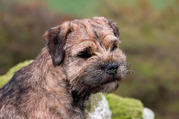 Border Terrier photography by Betty Fold Gallery