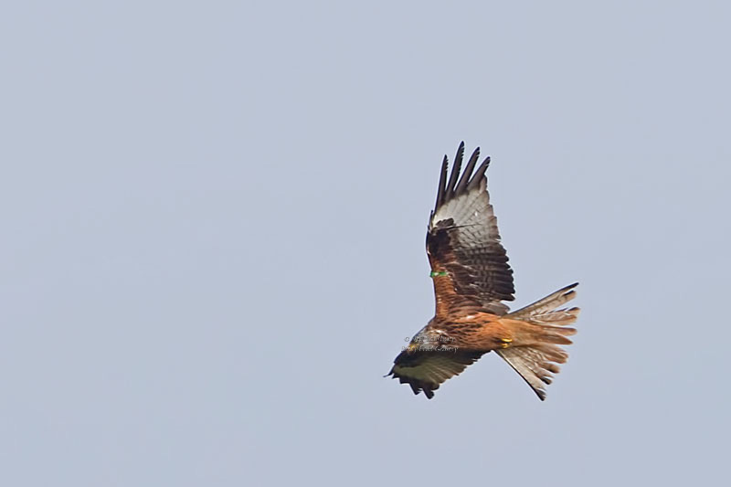 Red Kite Photography by Betty Fold Gallery & Self Catering