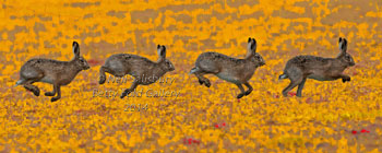 Hare Photography by Betty Fold Gallery Hawkshead Cumbria Lake District