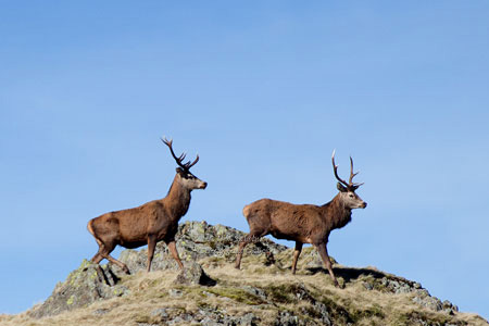 Red Deer Photographer Neil Salisbury, Hawkshead Cumbria