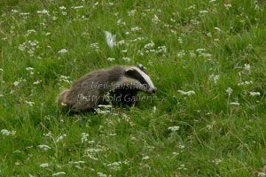 Badger photography by Betty Fold Gallery
