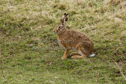 Brown Hare Photography by Betty Fold Gallery Hawkshead Cumbria