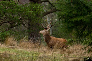 Wildlife Photography Red Deer by Betty Fold Gallery