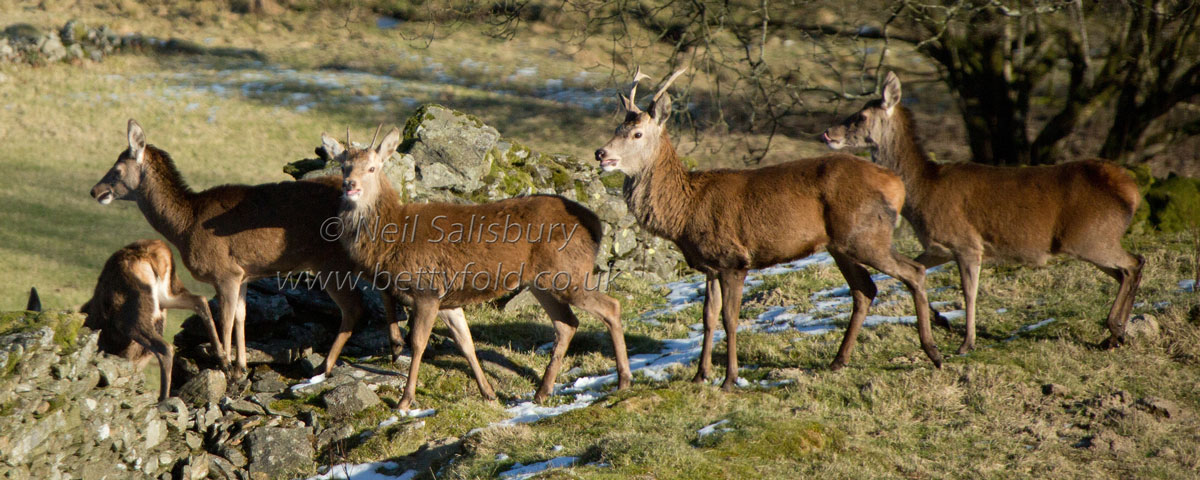 Red Deer Photography by Neil Salisbury Betty Fold Gallery