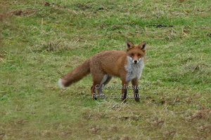 Cumbrian Wildlife Photographer Neil Salisbury Fox Photographs