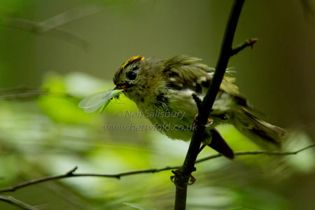 Goldcrest by wildlife photographer Neil Salisbury Betty Fold Gallery