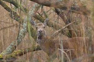 Red Deer by Cumbrian Wildlife Photographer Neil Salisbury