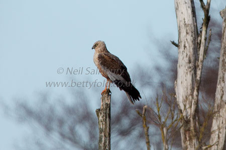 Marsh Harrier Photography by Cumbrian Photographer Neil Salisbury Betty Fold Gallery