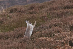 Wlidlife Photographer Neil Salisbury White Mountain Hare