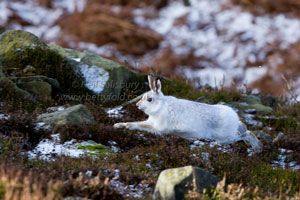 White Hare Prints by Wildlife Photographer Neil Salisbury