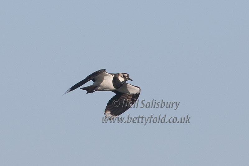 Lapwing Photography by Betty Fold Galery