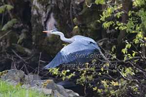 Heron Photography by Betty Fold Gallery of Hawkshead