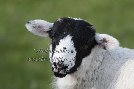 Swaledale Sheep Photography by Betty Fold Gallery