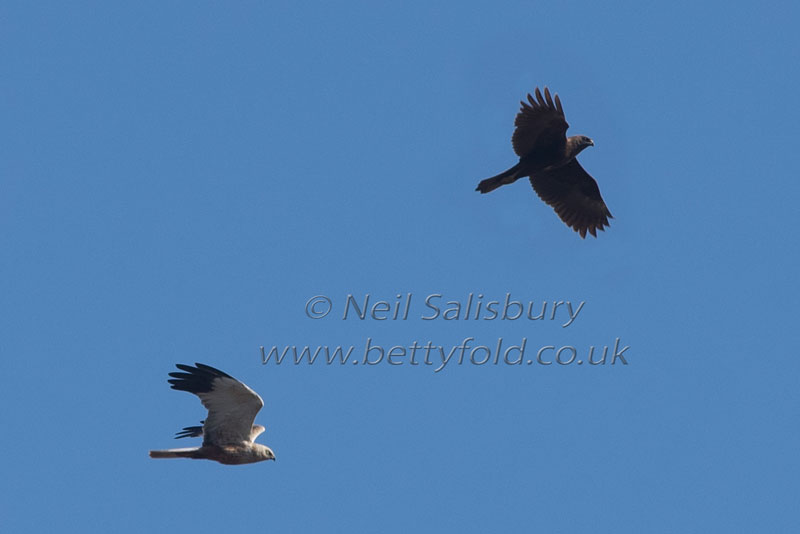 Marsh Harrier photography by Betty Fold Gallery
