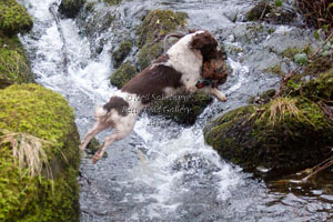 Springer Spaniel Photography by Betty Fold Gallery