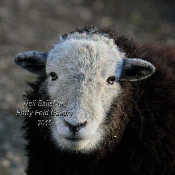 Herdwick Sheep Images by Betty Fold Gallery