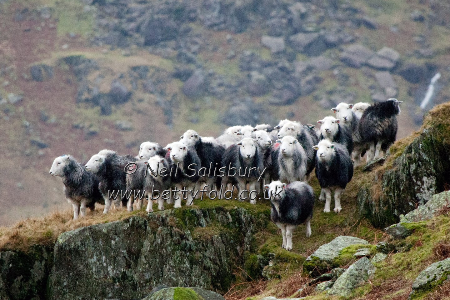 Herdwicks by Betty Fold Gallery
