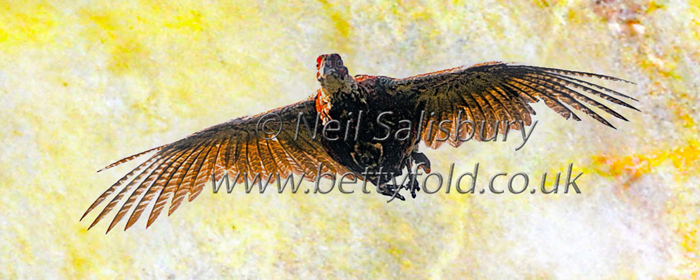 Pheasant Photography by Betty Fold Gallery