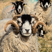 Sheep Photography by Betty Fold Gallery