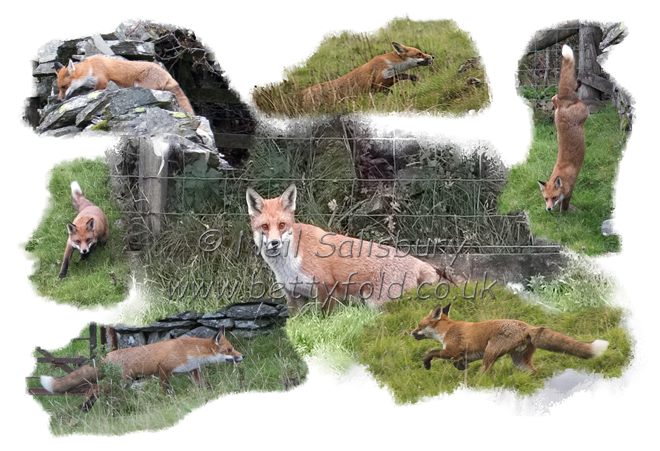 Fox Photography by Neil Salisbury Betty Fold Gallery
