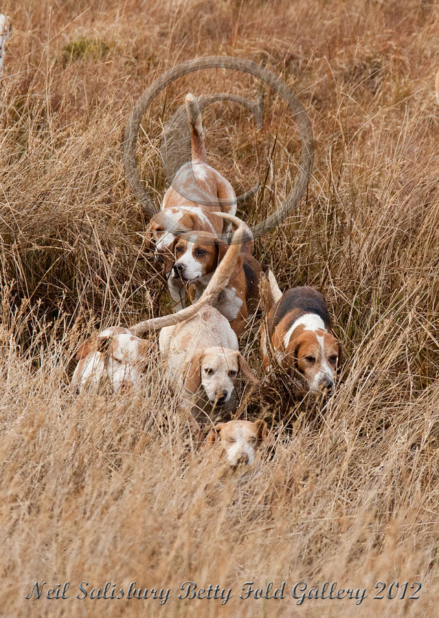 Bleasdale Beagles in Kentmere Valley by Betty Fold Gallery