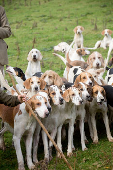 Foxhound Images by Hunting Photographer Neil Salisbury of Betty Fold Gallery