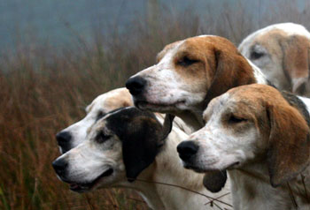Hound Photography by Betty Fold Gallery