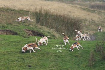 Bleasedale Beagles images by Betty Fold Gallery