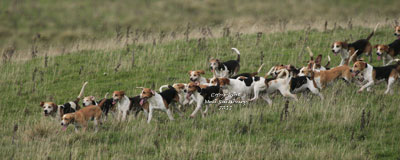 Stowe College Beagles by Betty Fold Gallery