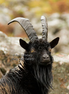Mountain Goat Photography by Betty Fold Gallery