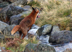 Fox Hunting- Lakedistrict, Photography by Lakeland Images